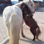 Kleine Pferde - Minipferde